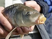 Коропова риболовля на фідер